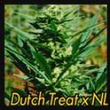 Dutch Treat x Northern Lights