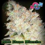 New Dame Blanche
