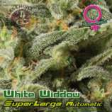 Superlarge White Widdow Autoflowering