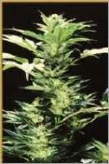 Hemcy Genetics Original Haze