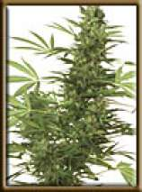High Quality Seeds Four Way Specials