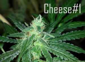 Kaliman Seeds Cheese #1