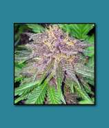 Triple Purple Doja