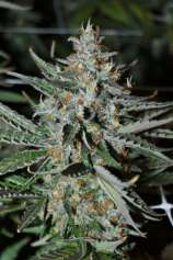 Bubba's Trainwreck Haze #1