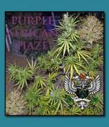 Purple African Haze