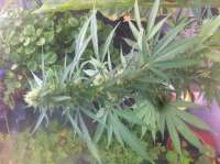 Pic for Nepalese Jam (ACE Seeds)