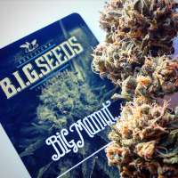 Picture from BIGSeeds (Big Mamut)