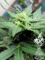 Picture from Faricurgrower (Grape Ape)