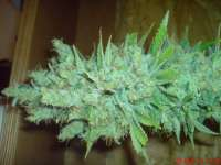 Picture from JAHJAHChildren (Blue Cheese)
