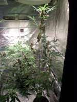 Picture from ossi420 (Auto Jack Herer)