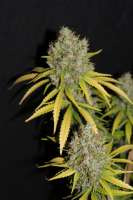 Pic for G13 Super Silver Haze (Cannabella Seed Club)