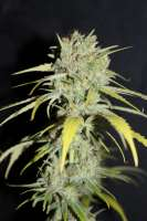 Pic for Strawberry Cream Pie (Cannabella Seed Club)