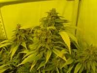 Picture from hemp47 (Black Russian)
