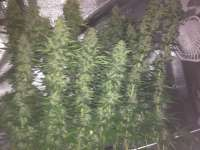 Picture from Rizla48 (Critical Jack Herer)