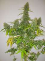 Picture from Xochipilli (Critical Jack Herer)