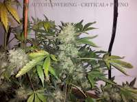 Picture from buzzy (Cheese Autoflowering)