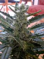 Picture from scoobysnax (Moby Dick Autoflowering)