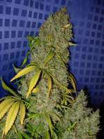 Picture from Nushaba (White Widow x Big Bud)