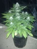 Picture from gimboid25 (White Widow x Big Bud)