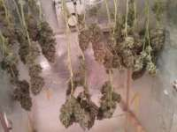 Picture from Schatenstein [Automatic Mega Bud]