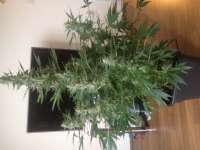 Picture from Carlokro (Big Bang Autoflowering)