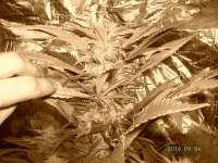 Picture from Weedpower (Mataro Blue)