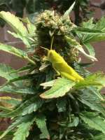 Picture from Madcat (Skywalker Kush)