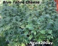 Picture from New420Guy (Blue Tahoe Cheese)