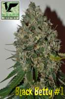 Pic for Black Betty (Old Dutch Genetics)