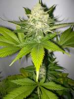 Picture from WhiteyB (Atomical Haze)