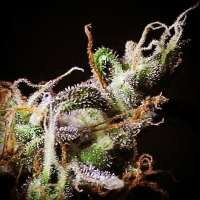 Picture from RKIEMSeeds (Icer)