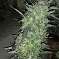 Pic for Frosted Cherry Cookies (Relentless Genetics)