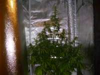 Picture from Mojojojo (Jack Herer Automatic)