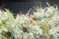 Picture from hemp47 (Jack Herer)