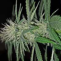 Picture from Mischief (Friesland Indica)