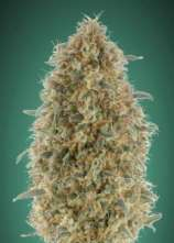 Advanced Seeds Gorilla Blue