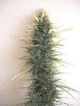 Afropips Seeds Swazi Red