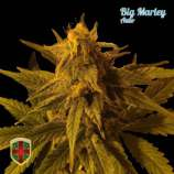 All-in Medicinal Seeds Big Marley Auto