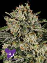 Anesia Seeds Banana MAC