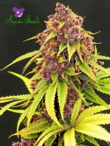Anesia Seeds Purps OG