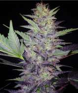 Baked Beans Cannabis Seeds Bering Sea Blues