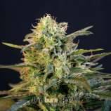 SeedFinder - Cannabis Strain Search