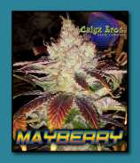 Calyx Bros. Seed Co. Mayberry