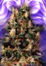 Clone Only Strains Blue Heaven