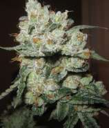 Clone Only Strains Fire Kush