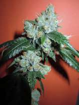 Clone Only Strains King Louis XIII