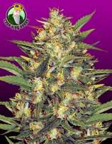 Crop King Seeds Early Vixen