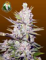 Crop King Seeds Haze Xtreme