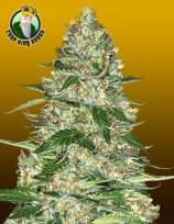 Crop King Seeds Northern Lights