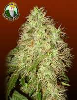 Crop King Seeds Rogue Thunder
